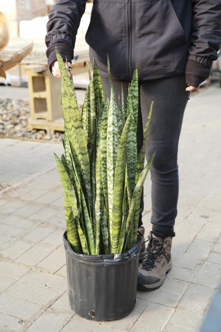 Sansevieria Wintergreen