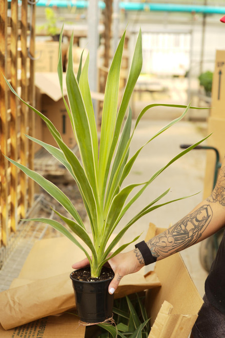 Yucca Gloriosa Variegated - 5 in