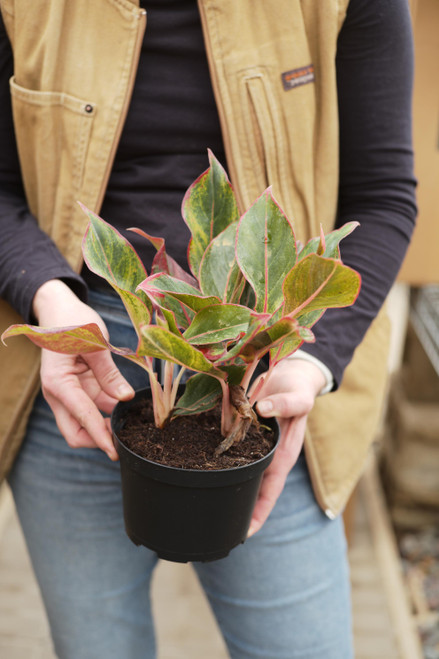 Aglaonema Red Siam - 6 in