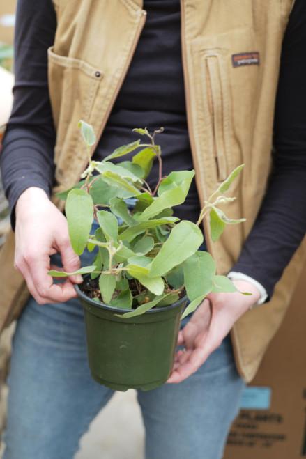 Myrtle Eucalyptus Lemon - 6 in