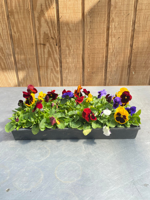 Pansy 4-Pack