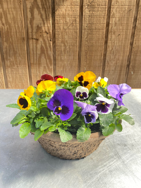 "12"" Pansy Container"