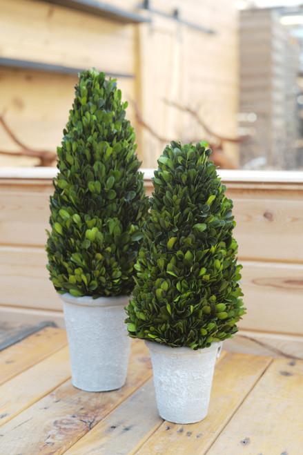Boxwood Cone Tree in Pot