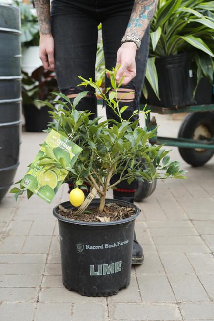 Citrus Key Lime Bush - 10 in