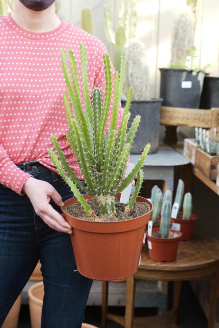 Euphorbia Limpopo Ana - 8 in