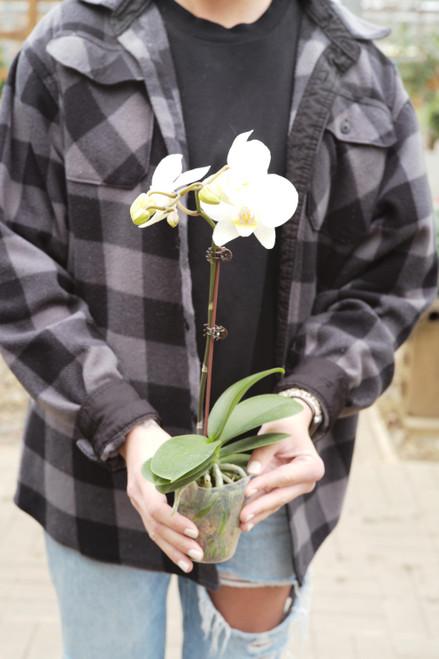 Phaleonopsis Orchid - White