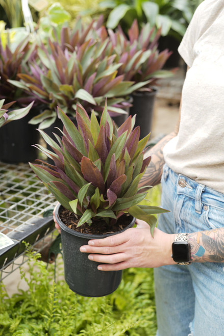 Tradescantia Spathacea 'Moses in the Cradle' - 4 in