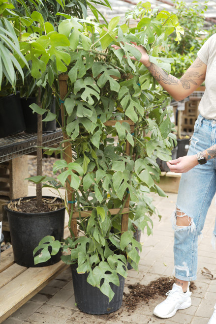 Rhaphidophora tetrasperma 'Ginny' - 12 in pot w/ Trellis