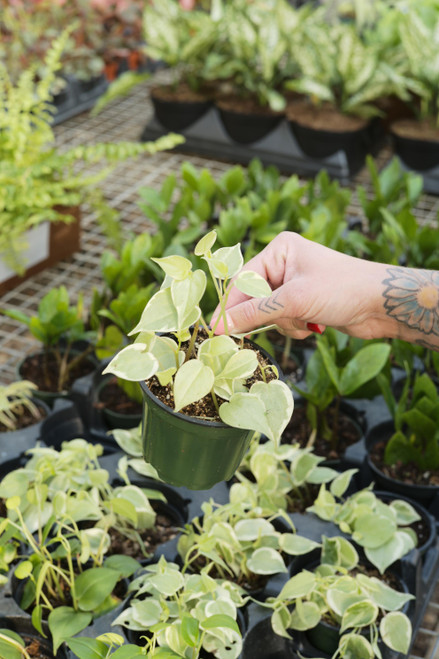 Peperomia Cupid Variegated - 4 in