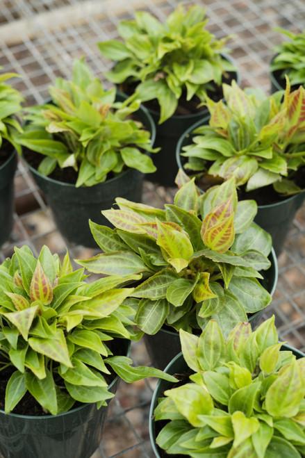 Monolena Primulaeflora