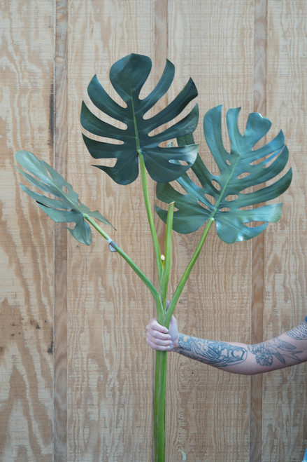 "49"" Leaf Monstera Tree x3 (Faux)"