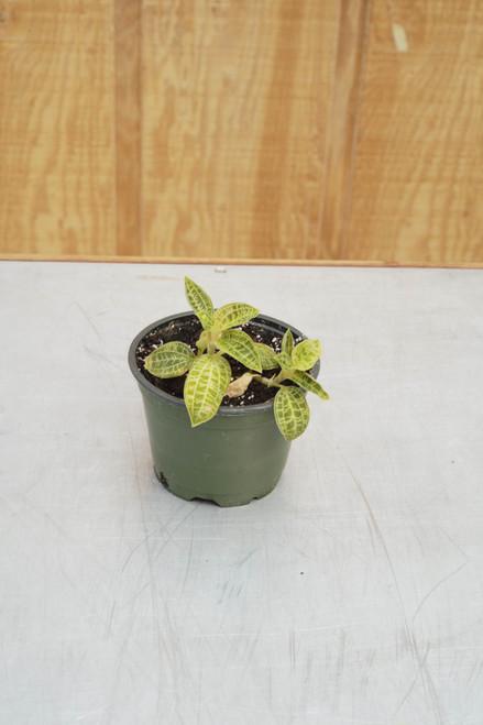 Macodes petola 'Lightning Bolt Orchid' - 4 in