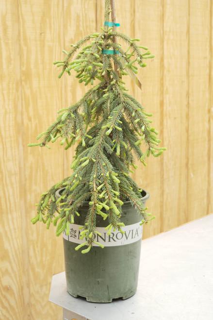 Picea Pendula - 5 gal