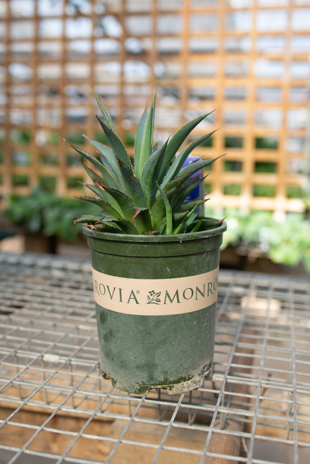Agave Fountain Surprise - 1 gal