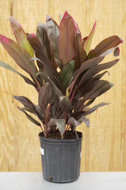 Cordyline 'Ruby' - 10 in