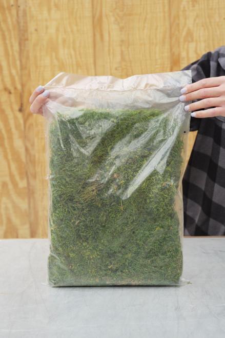 Green Sheet Moss