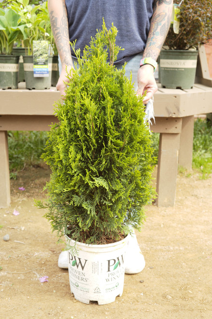 Arborvitae North Pole® - S2