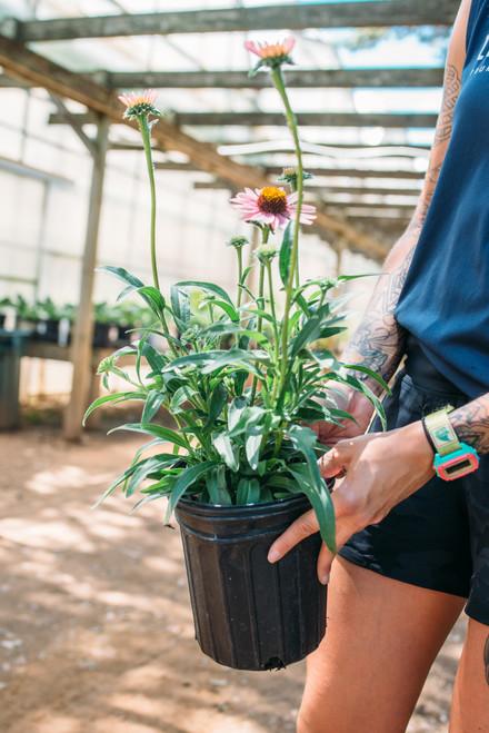 Echinacea Pixie Meadowbrite - 1 gal