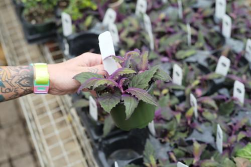 Gynura 'Purple Passion Vine' - 4 in
