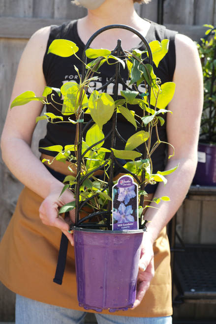 Clematis Will Goodwin - 1 gal