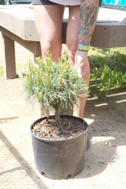 Pine Mini Twists - 3 gal