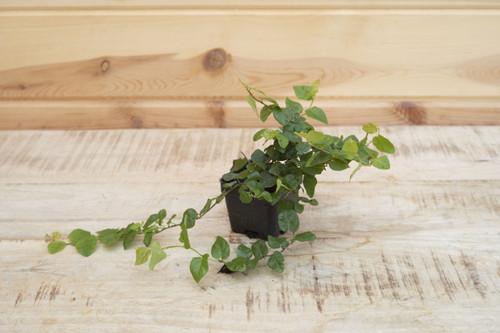 Ficus Repens