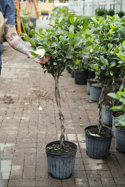 Gardenia Aimee Braided Patio Tree - 10 in