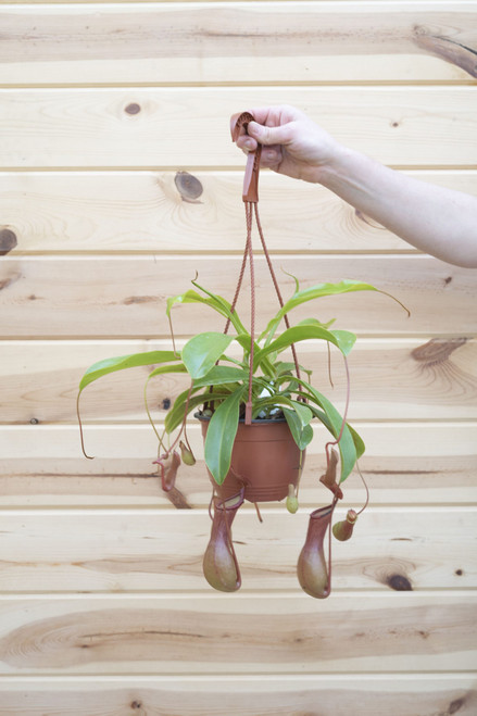Monkey Cups (Nepenthes)