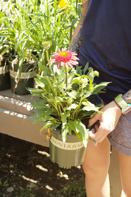 Echinacea Sunny Days Ruby Double - 1 gal