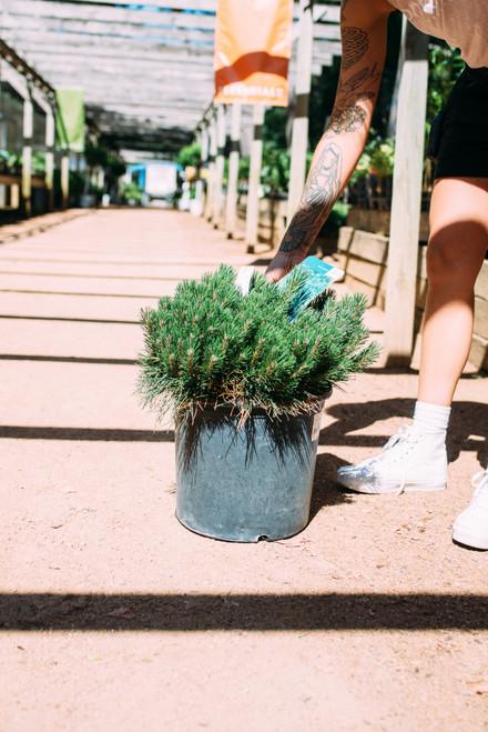 Pine mugo - 5 gal