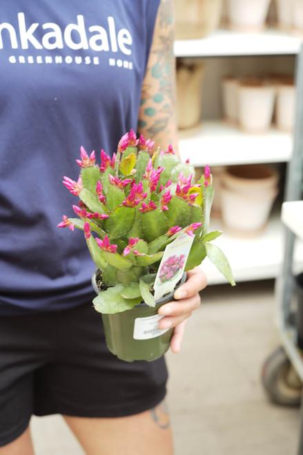 Spring Cactus - 4 in