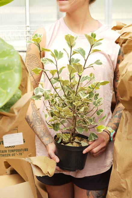 Variegated Ficus Triangularis