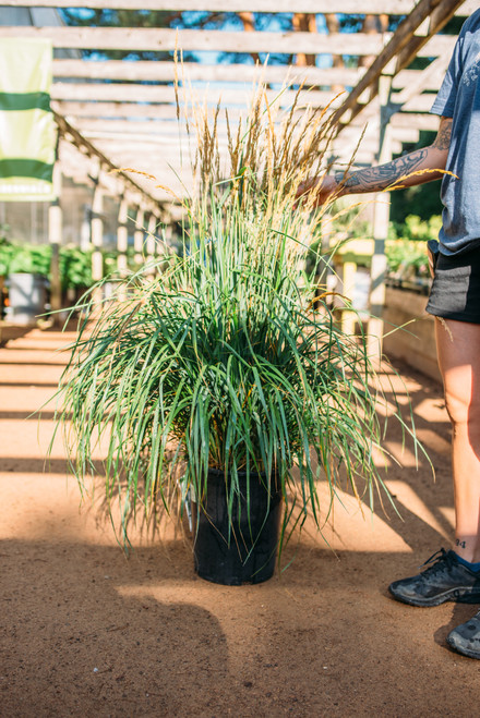 Grass Karl Foerster - 5 gal