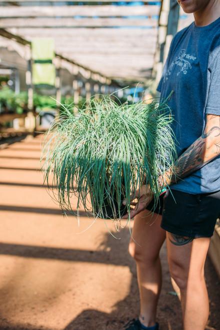 Grass Blue Sedge - 1 gal