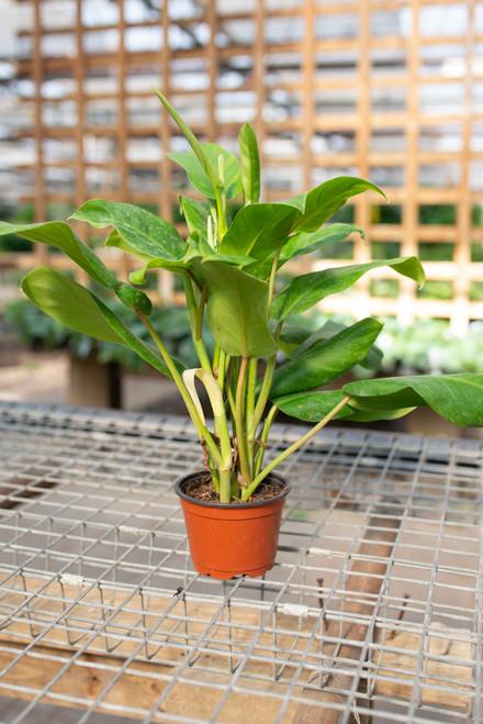 Philodendron Eva - 4 in