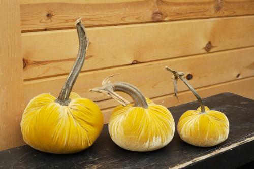 Velvet Pumpkin in Maize