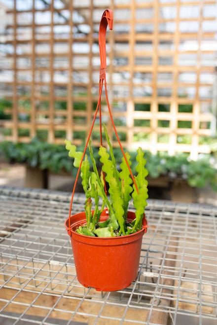 Fishbone Cactus - 6 in Hanging Basket