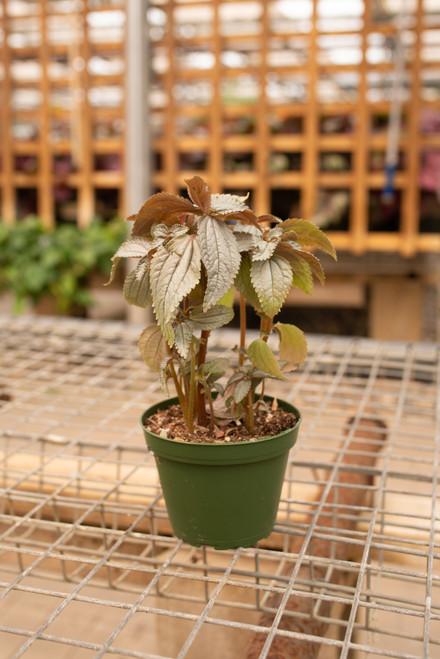 Pilea Silver Tree - 4 in