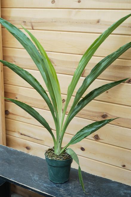 Phaius Orchid - 6 in