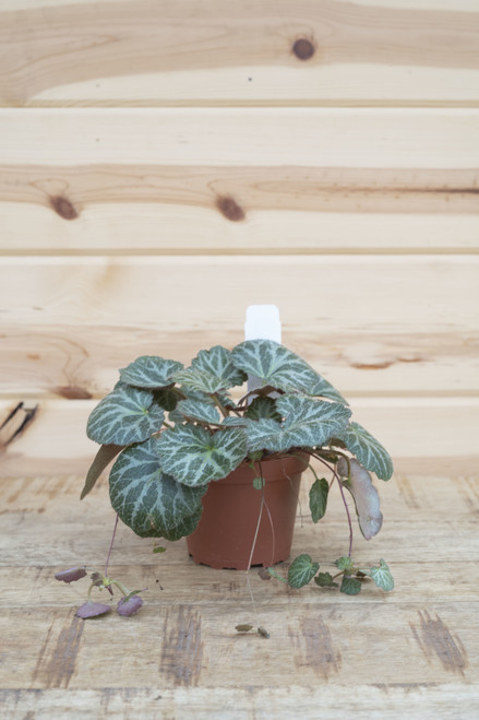 Strawberry Begonia 4 in