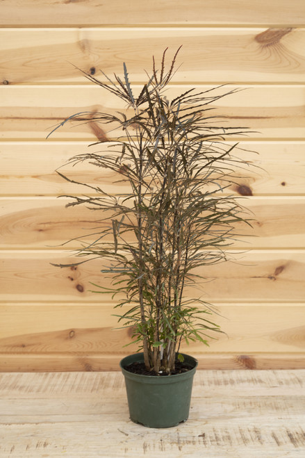 False Aralia 6 in