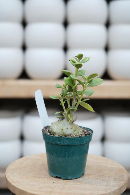 Ant Plant (Hydnophytum papuanum) - 4 in