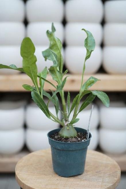Ant Plant (Myrmephytum selebicum) - 4 in