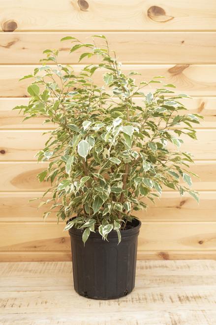 Ficus Benjamina Evergreen 10 in