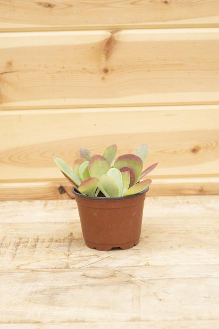 Flapjacks Succulent (Kalanchoe thyrsiflora)