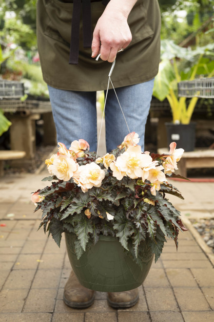 Begonia (Semi-Trailing) - Hanging Basket 11 in