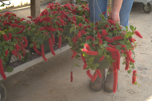Chenille Fire Tail - Hanging Basket 11 in