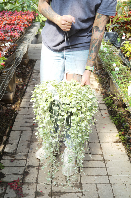 Dichondra - Hanging Basket 11 in
