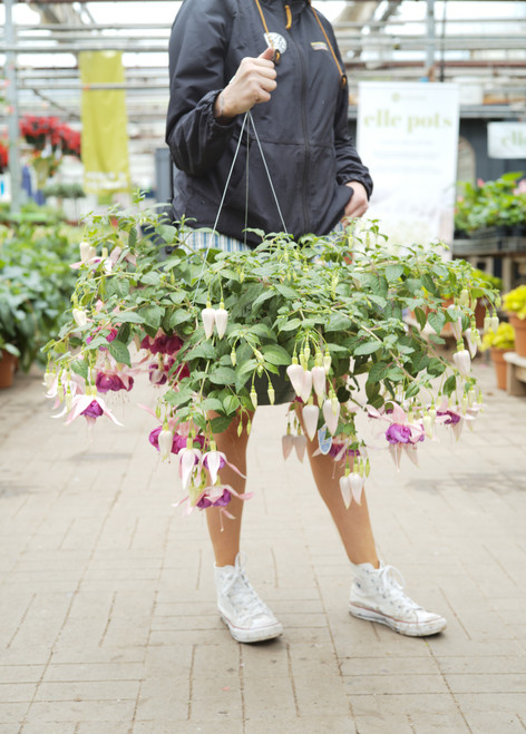 Fuchsia -Hanging Basket 11 in