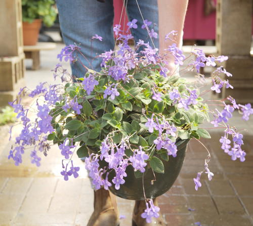 Streptocarpella Concord Blue - Hanging Basket 11 in